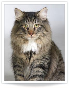 Cat Hyperthyroidism Symptoms Feline Hyperthyroidism Common Symptoms