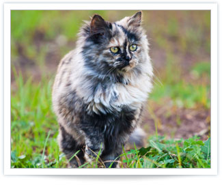 Hyperthyroidism in felines cured with radioactive iodine
