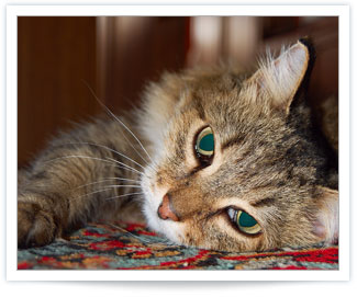 Feline Hyperthyroidism is a common thyroid problem in cats
